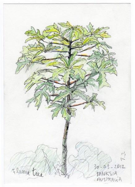 2012-25-flametree-Austr.kleurpotl-2